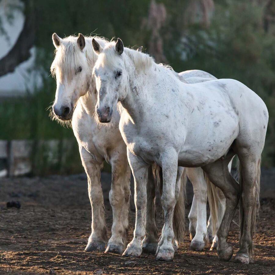 écuries-chevaux-camargue-auberge-cavaliere-du-pont-des-bannes (35)